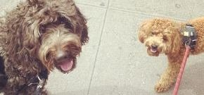 Dog walks IN NYC