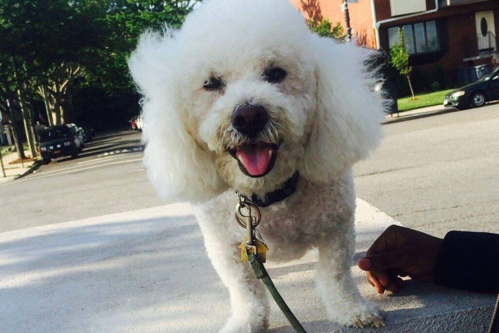 Harlem Dog Walks IN NYC